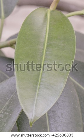 Ficus leaf close up view