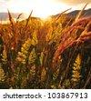 Field at sunset - stock photo