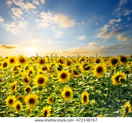 Field of bright sunflowers at sunset