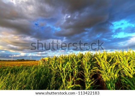 Field of corn with stormy clouds in Sweden
