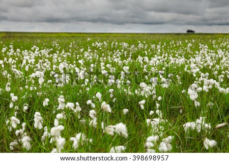 Field of cotton grass on Iceland