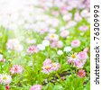 Field of marguerite in the rays of spring sun - stock photo