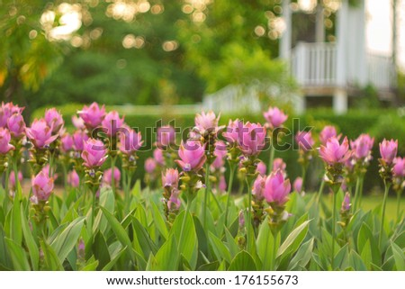 Field of Siam tulip flowers in sunset