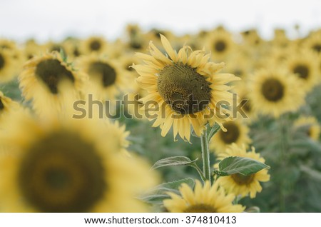 field of sunflowers on a background Vintage Tone Japan