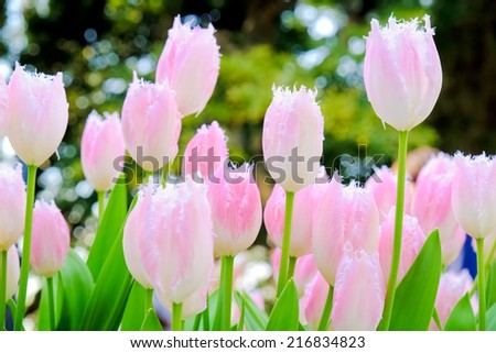 field of tulips in morning light