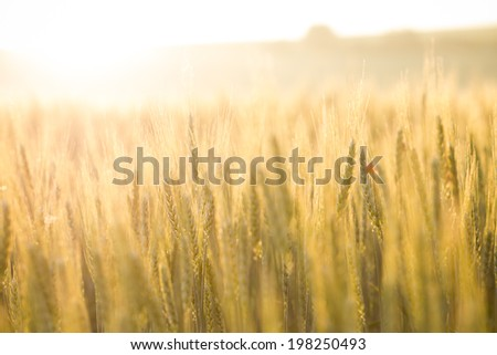 Field of wheat in morning sun