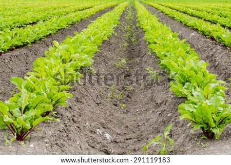Field of young beets