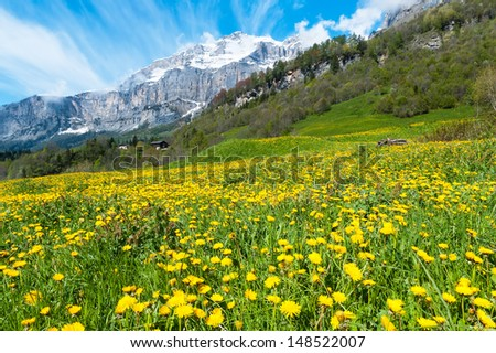 Field with dandelions on a background of the Bernese Alps
