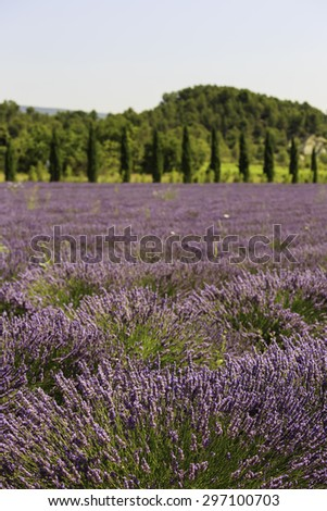 fields of blooming lavender flowers (Provence, France)