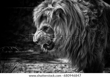 Roaring Lion Against Stormy Sky Stock Photo 197736680 ...