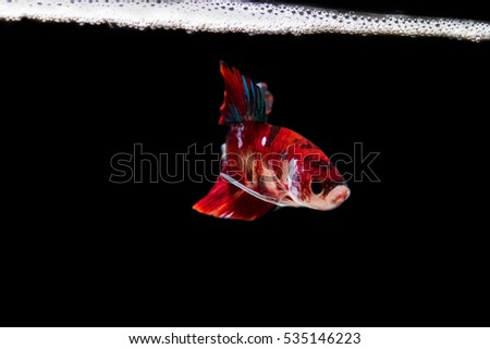 Fighting fish on black background, Betta fish, Fancy breed
