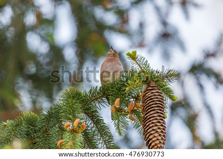 Finch singing on a forest fir branch indicating coming of spring warmth.