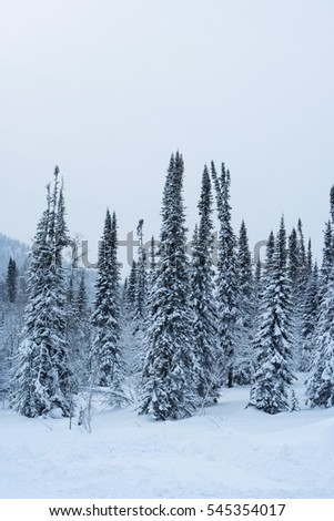 fir covered with snow against the backdrop of an overcast gray sky and mountain landscape