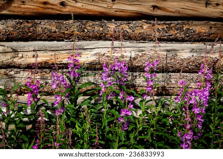 Fireweed blooms beside a log wall in the Yukon.