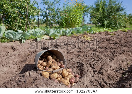 First harvest of organically grown new potatoes