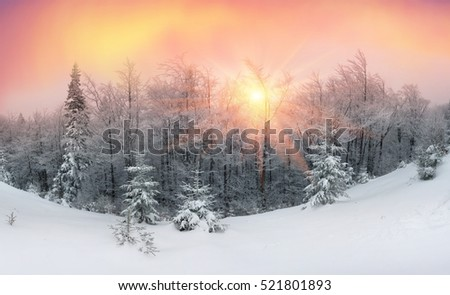 First snow in Ukrainian Carpathian spruce pine trees, with the sun shining haze gentle rays in the fog with spectacular light effects Wild bushes with frozen branches after snow storm and blizzard