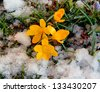 First yellow spring flowers in snow - Crocuses. Blossom, as soon as snow descends - stock photo