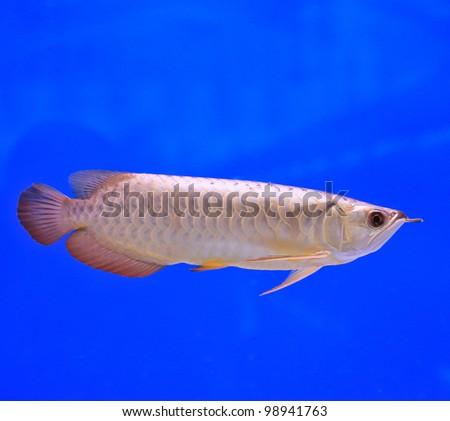 Gold arowana fish aquarium stock photo 592471886 for Arowana fish tank decoration