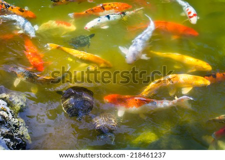 Koi fish swimming pond carp stock photo 600062417 for Golden ornamental pond fish crossword
