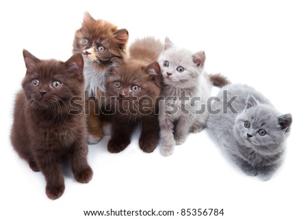 Five cute Brititsh kittens sitting and lying together on isolated white background