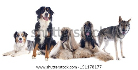 five large dogs in front of white background