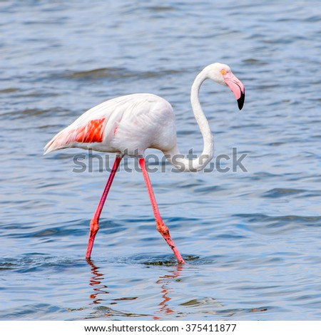 Flamingo at the Walvish Bay, Namibia