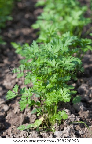 Flat parsley growing in rows in the garden bed