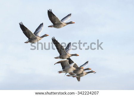 Flock of greylag geese in flight