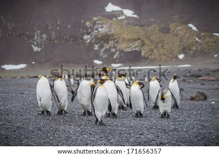Flock of King penguins heading to shore in South Georgia