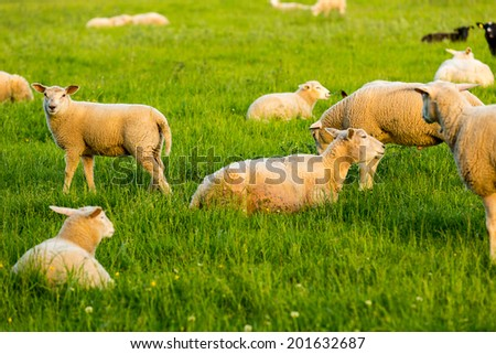 flock of sheep on a meadow