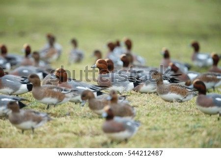 Flock of The Eurasian wigeon or Eurasian widgeon (Anas penelope)