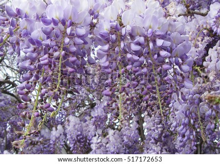 floral background, flowers of wisteria sinensis closeup, local focus, shallow DOF