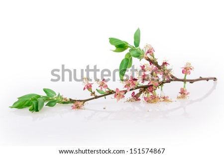 flower apple tree isolated on white background