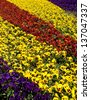 Flower bed from pansies - stock photo