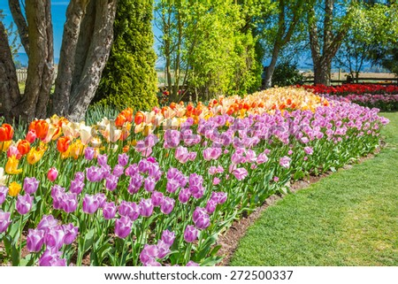Flower beds of multicolored tulips in Washington