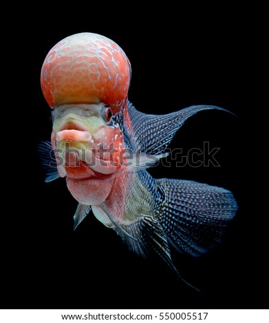 Flower horn cichlid isolated on black background