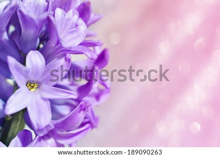 Flower hyacinth close up