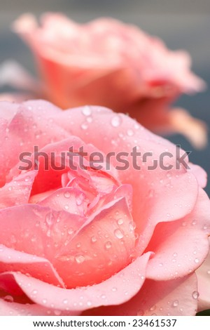 Flower of rose with drops of water