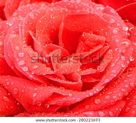 Flower rose with drops of dew water