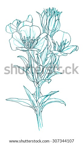 Primrose Flower Drawing | www.pixshark.com - Images ...