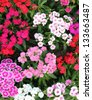 Flowerbed of Dianthus barbatus (Sweet William) - stock photo