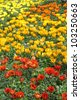 flowerbed with multicolor gazania flowers - stock photo