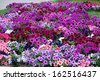 Flowerbed with multicoloured petunias  - stock photo