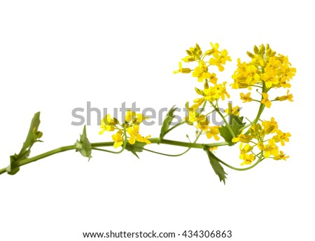 Flowering Barbarea vulgaris or Yellow Rocket plant (Cruciferae , Brassicaceae ) close up isolated on white