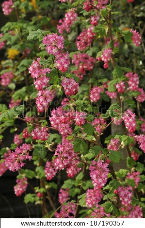 Flowering Currant - Ribes sanguineum Bush with flowers
