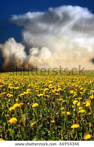 flowering dandelion on meadow