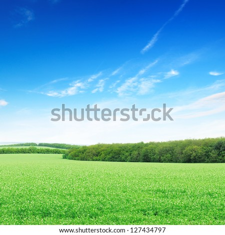 flowering field and a bright blue sky
