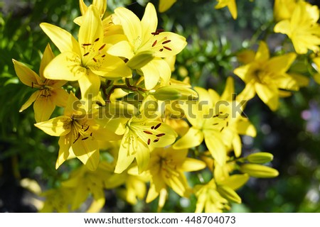 Flowering ornamental yellow lily in the garden closeup.