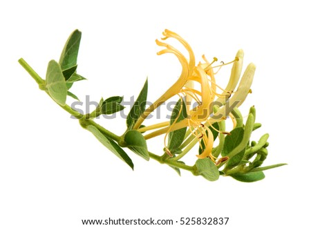 Flowering white-yellow Honeysuckle(Woodbine). Isolated on white background