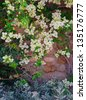Flowers of a white bougainvillea in an inflorescence against a wall of rough stone. - stock photo